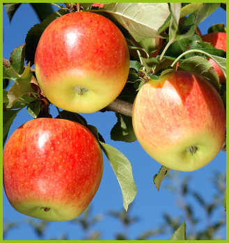 We have the most important cider apple tree producers in Europe
