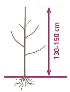 arbre dalival