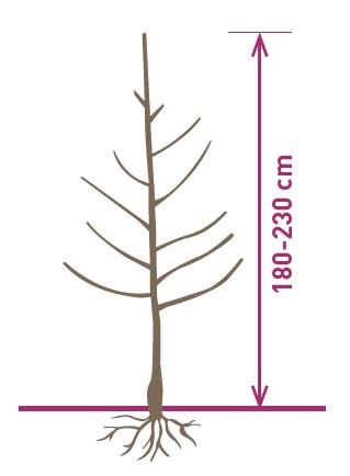 arbre_dalival