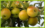 Les-variétés-de-pommes-à-cidre-Dalival