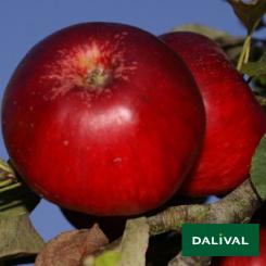 Apfel-Apfelbaum-Dalival-AKANE
