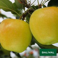Apfel-Apfelbaum-Dalival-ALTESS-DALITRON