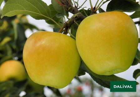 Apfel -Apfelbaum - Dalival -  ALTESS DALITRON