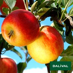 Apfel-Apfelbaum-Dalival-AMBASSY-DALILI