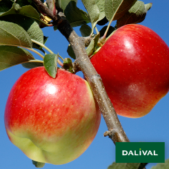 Apfel-Apfelbaum-Dalival-AMBROSIA-COV