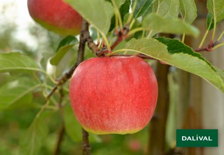 Apple - Apple tree - Dalival - ANTARES DALINBEL