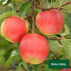 Apfel-Apfelbaum-Dalival-ANTARES-DALINBEL