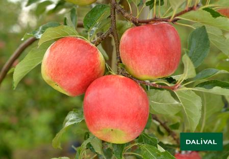 Apfel -Apfelbaum - Dalival - ANTARES DALINBEL