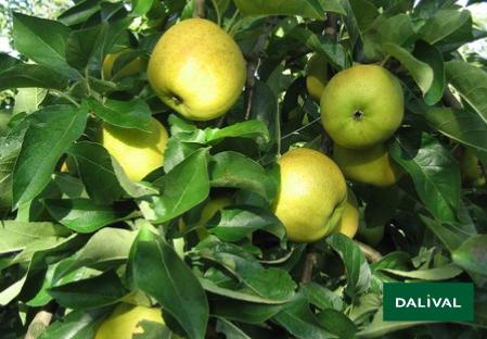 Apfel -Apfelbaum - Dalival - BELCHARD CHANTECLER