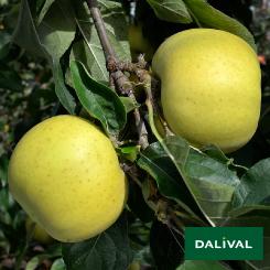 Apfel-Apfelbaum-Dalival-BELCHARD-CHANTECLERC
