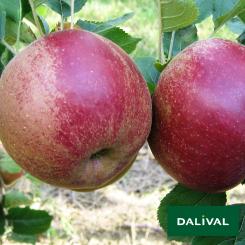 Apfel-Apfelbaum-Dalival-BOSKOOP-VAN-LAAR-BIELAAR