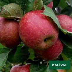 Apfel-Apfelbaum-Dalival-BOSKOOP-VALASTRID