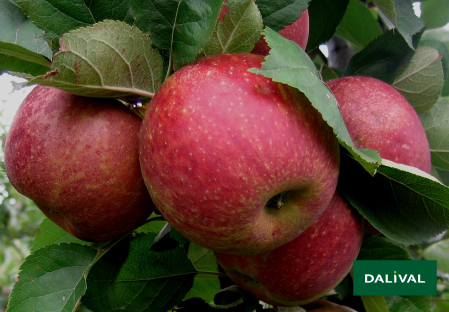 Apfel -Apfelbaum - Dalival - BOSKOOP VALASTRID