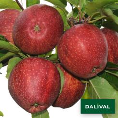 Apfel-Apfelbaum-Dalival-CAMEO-CAUFLIGHT