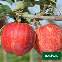 Apfel-Apfelbaum-Dalival-BROOKFIELD-BAIGENT