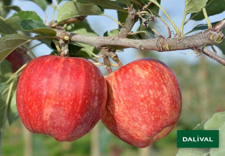 Apfel -Apfelbaum - Dalival - BROOKFIELD BAIGENT