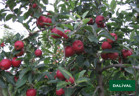 Apple - Apple tree - Dalival - GALA GALAVAL