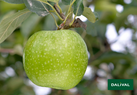 Apple - Apple tree - Dalival - GRANNY SMITH CHALLENGER DALIVAIR