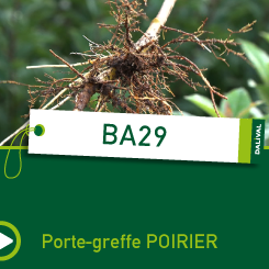 PORTE-GREFFE-DALIVAL-BA29-CARRE-POIRIER