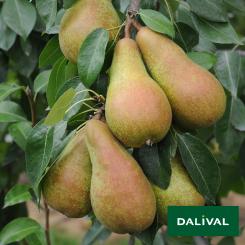 Birnensorten-Dalival-Abate-Fetel