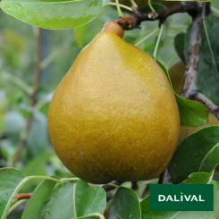 Birnensorten-Dalival-Angelys