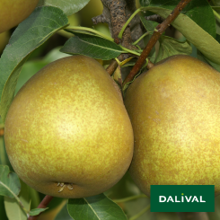 Birnensorten-Dalival-Beurre-Hardy