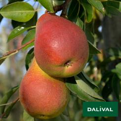 Birnensorten-Dalival-CH201