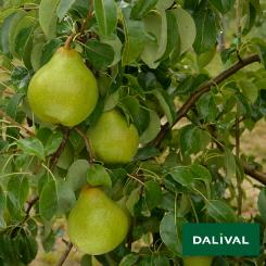 Birnensorten-Dalival-Doyenné-du-Comice