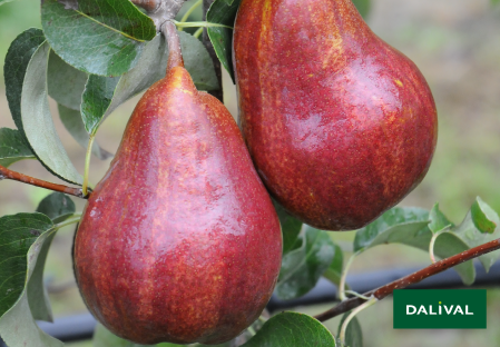 Pears - Dalival - Regal Red® Comice