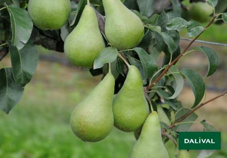 Pears - Dalival - Concorde
