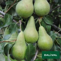 Birnensorten-Dalival-Concorde