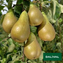 Birnensorten-Dalival-Conférence