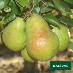 Birnensorten-Dalival-Dr-Jules-Guyot