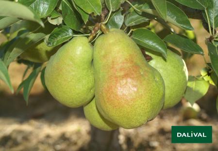 Birnensorten - Dalival - Dr Jules Guyot