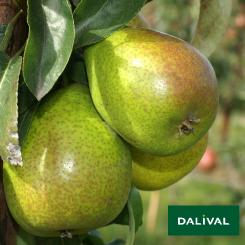 Birnensorten-Dalival-Louise-Bonne