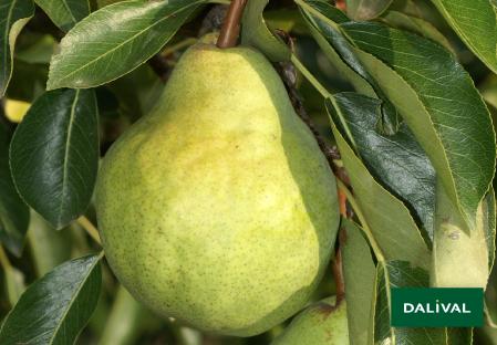 Birnensorten - Dalival - Packam's triumph