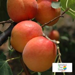 Variete-abricot-abricotier-Dalival-Farbaly-Carmingo