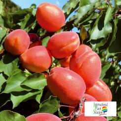Odmiana-Morela-drzewo-Dalival-Farbela-Carmingo