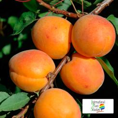 Variete-abricot-abricotier-Dalival-Farclo-Carmingo