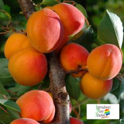 Variete-abricot-abricotier-Dalival-Farely-Carmingo