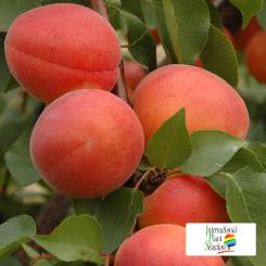 Variete-abricot-abricotier-Dalival-Farlis-Carmingo