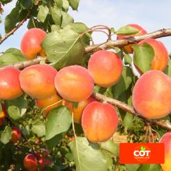 Variete-abricot-abricotier-Dalival-Lady-Cot