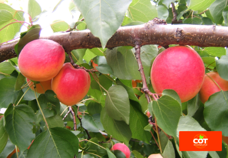 Variety apricot tree Dalival Lady Cot