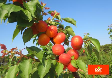 Variety apricot tree Dalival Playa Cot