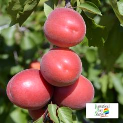 Variete-abricot-abricotier-Dalival-Pricia-Carmingo