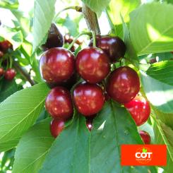 Variete-cerise-cerisier-Dalival-Frisco