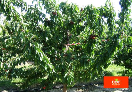 Sorte Kirsche Baum Dalival Frisco