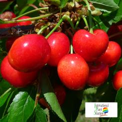Variete-cerise-cerisier-Dalival-Rosie