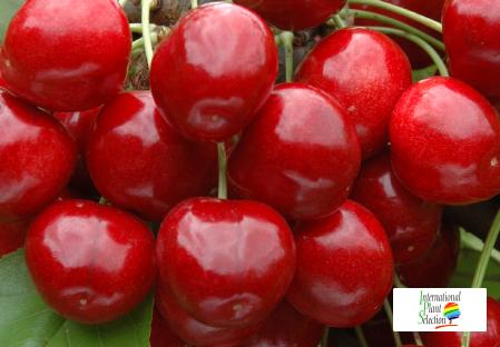 Variety cherry cherries tree Dalival Royal Helen