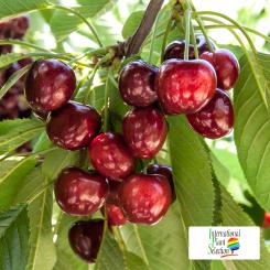 Variete-cerise-cerisier-Dalival-Royal-Tioga
